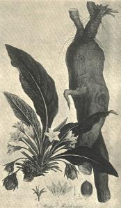 """""""Man""""drake, 'nuff said (from Sibthorpe's Flora Graeca, 1808)"""