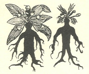 Womandrake and Mandrake from a 12th-century manuscript
