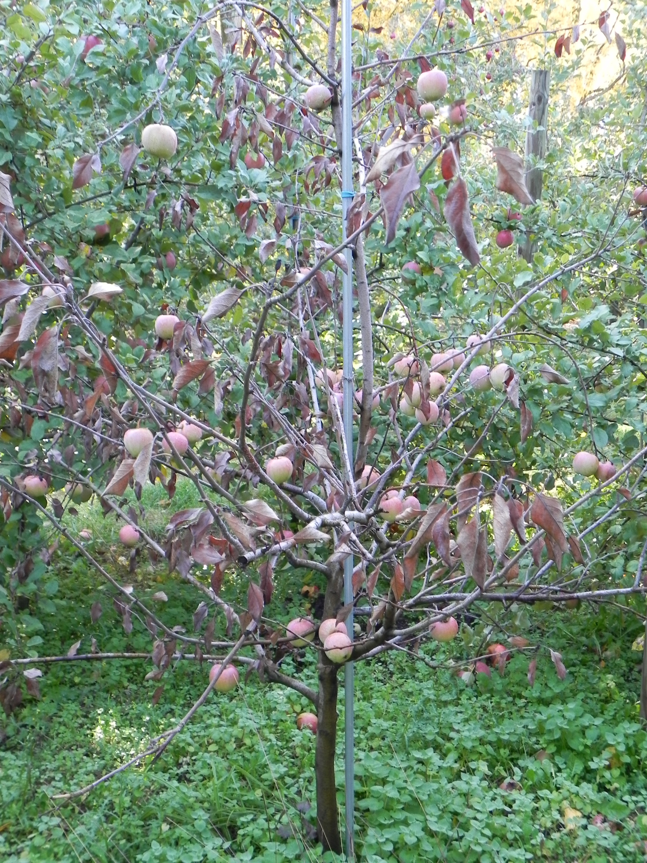 apple picking sects and violence in the ancient world i m not sure why i ve associated apples new life shortly after my father died i planted an apple seed in a plant potter in our wisconsin home