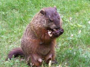 An agnostic groundhog ponders the inevitable (photo credit: I. EIC)