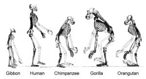 800px-Ape_skeletons
