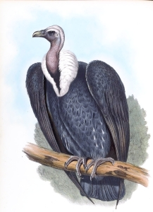 Image credit: John Gould, HC Richter, Wikimedia Commons